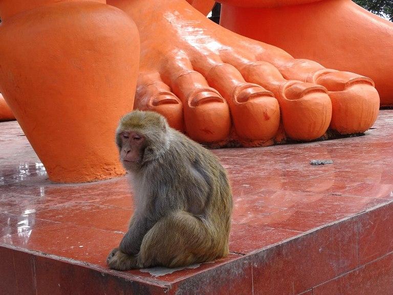 1600px-Monkey_at_Foot_of_Sculpture_-_Jakhu_Temple_-_Shimla_-_Himachal_Pradesh_-_India_(25936175444).jpg