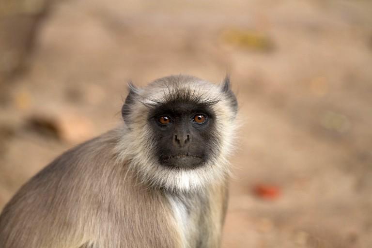 monkey_india_hanuman_langur_gray_langur_semnopithecus_grey_langur_langur_schlankaffe-1056378.jpg